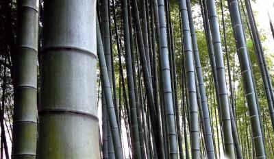 Versatile e sostenibile a bergamo parte la coltivazione for Bamboo coltivazione