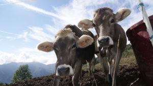 mucche al pascolo Val Taleggio
