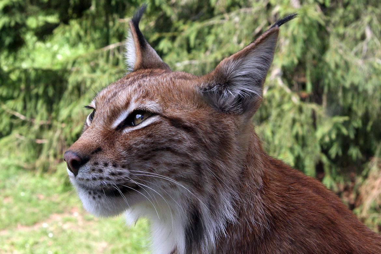 Lynx_lynx-4