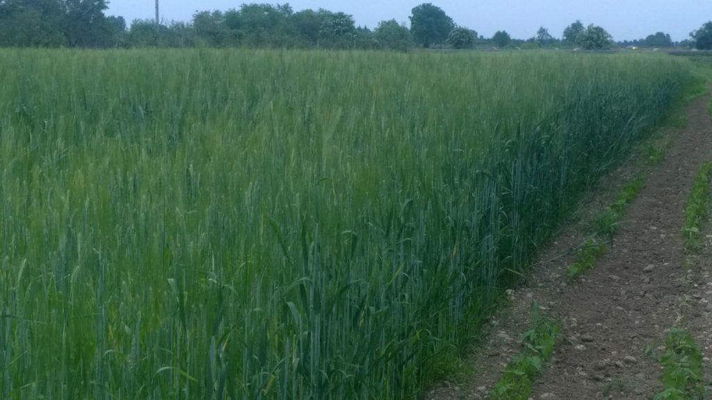 azienda agricola fontana - cereali - calvenzano (2)